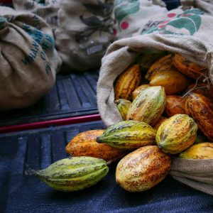 Cacao bought from the Orang Asli villagers (Picture credit: Chocolate Concierge)
